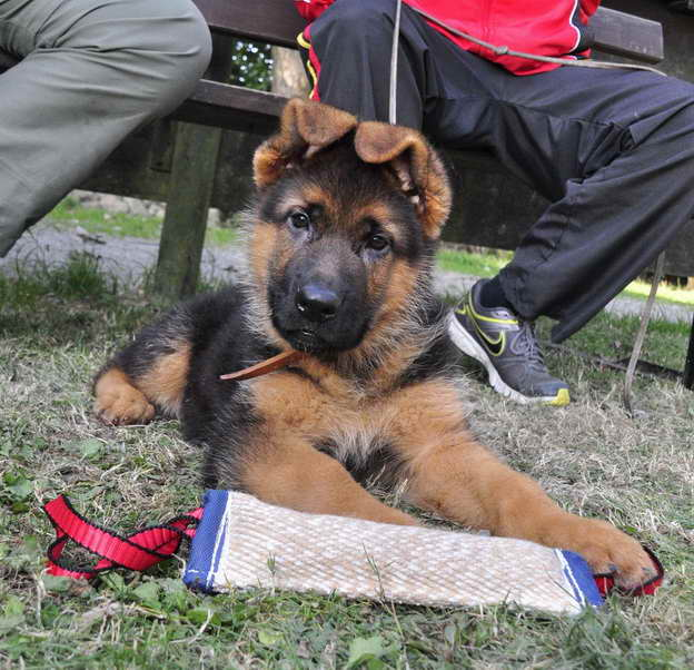 How To Train A German Shepherd Puppy To Stop Biting