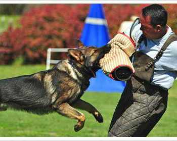 How To Train A German Shepherd To Protect You