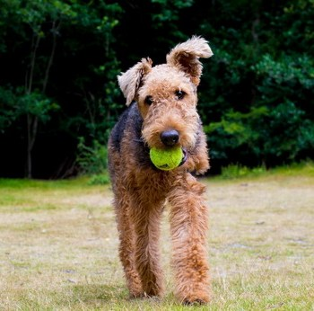 How To Train An Airedale Terrier