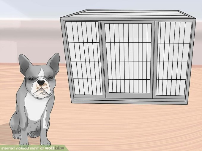 How To Train Boston Terrier