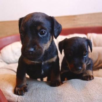 Hunt Terrier Puppy