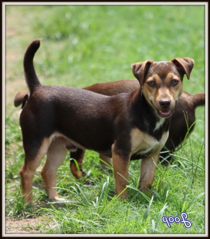 Hunt Terrier