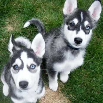 Husky Terrier Mix Puppies For Sale