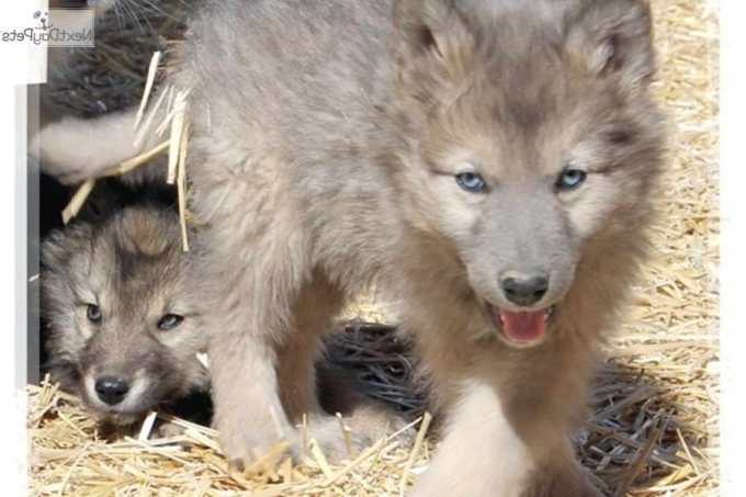 Husky Wolf Mix Puppies For Sale