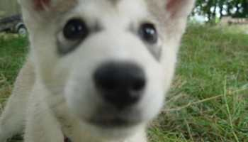 Husky Wolf Dogs For Sale | Pets and Dogs