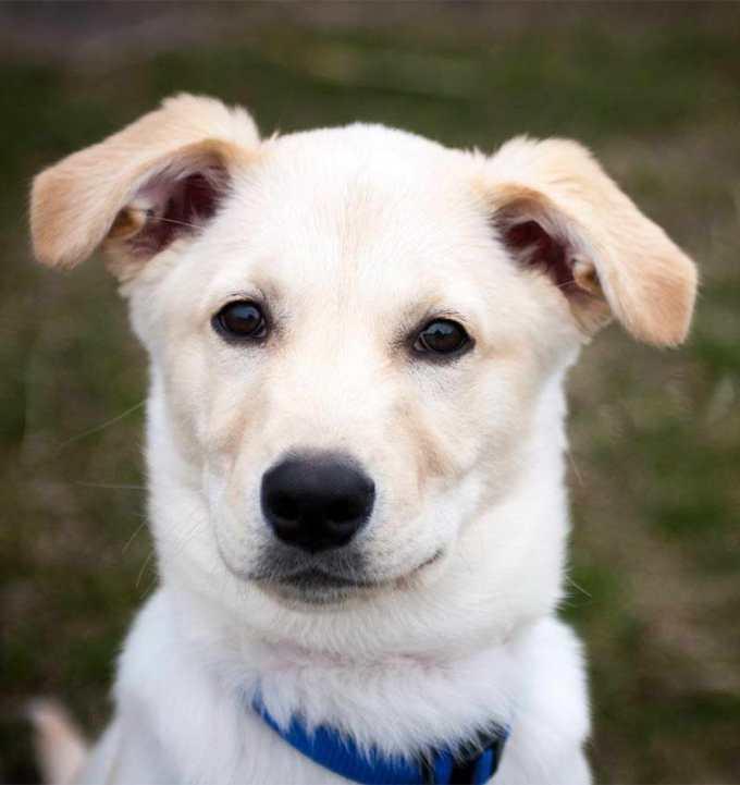 Lab Husky Puppies