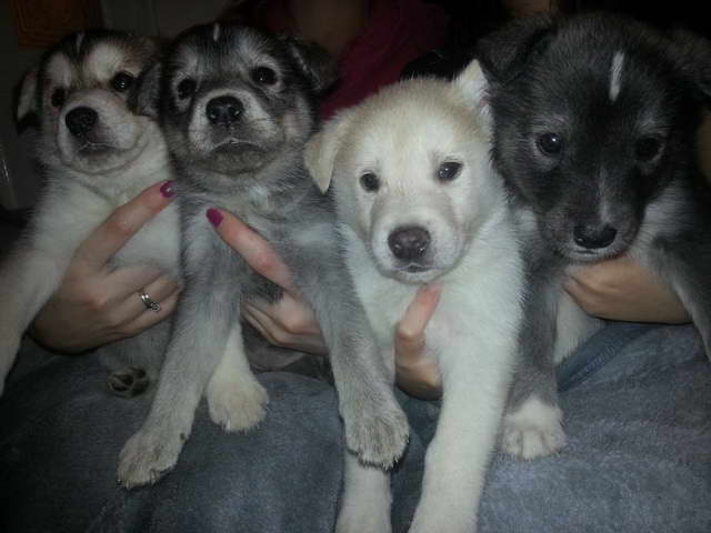 Lab Husky Puppy For Sale
