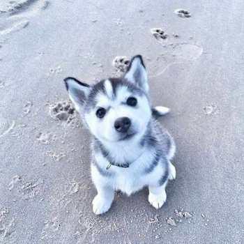 Little Husky