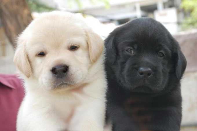 How Much Do Labrador Puppies Cost