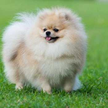 How Much Do Pomeranian Dogs Cost
