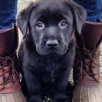 How Much Does A Black Labrador Cost