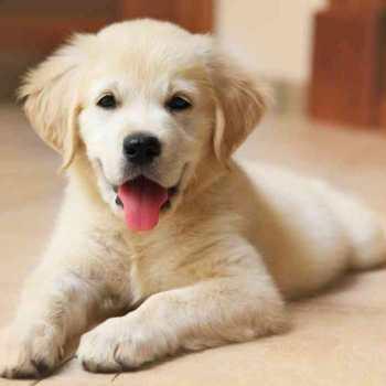 How Much Does A Labrador Retriever Cost