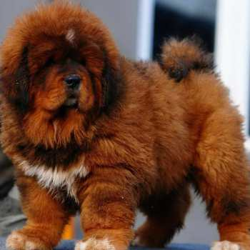 How Much Does A Tibetan Mastiff Puppy Cost