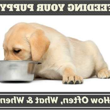 How Much Food Should I Feed My Labrador