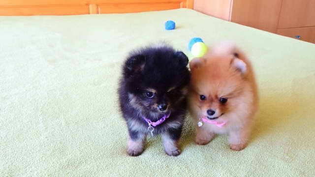 How Much For A Pomeranian Puppies