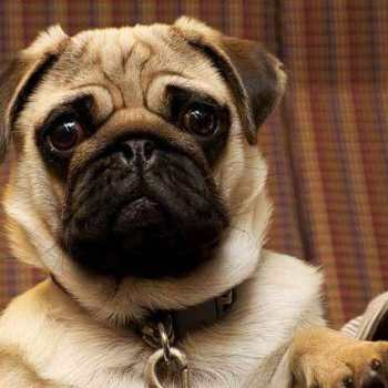 How Much Is A Pug Cost