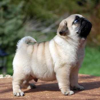 How Much Is A Pug Puppy