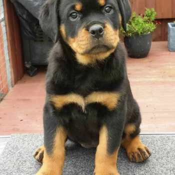 How Much Is A Rottweiler