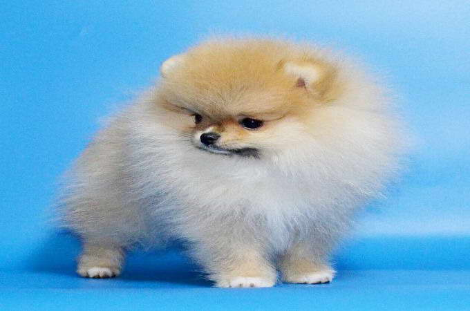 How Much Is A Teacup Pomeranian