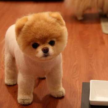 How Much Money Is A Pomeranian