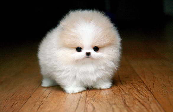How Much Teacup Pomeranian Cost