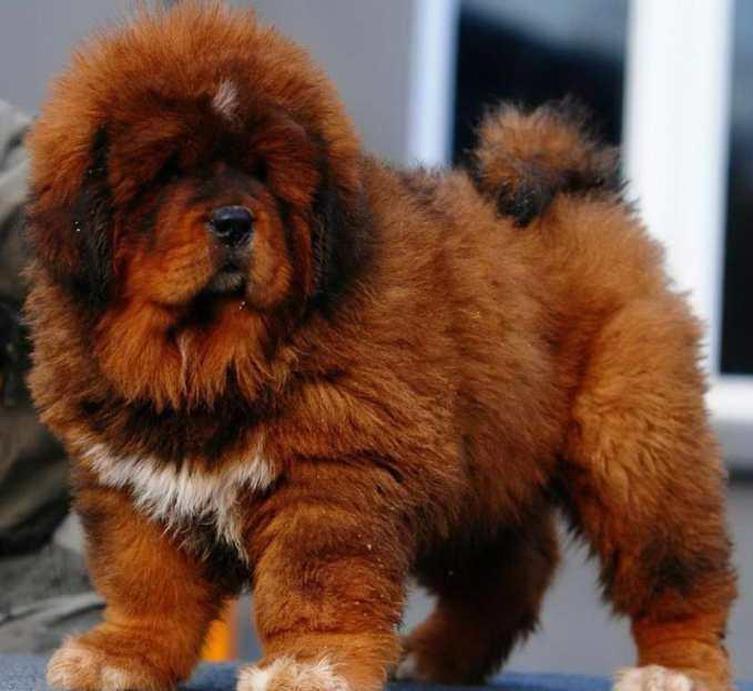 How To Buy A Tibetan Mastiff