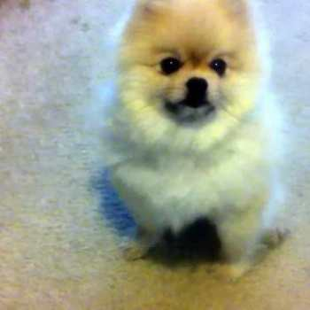How To Get A Pomeranian To Stop Barking