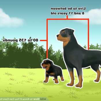 How To Take Care Of A Rottweiler