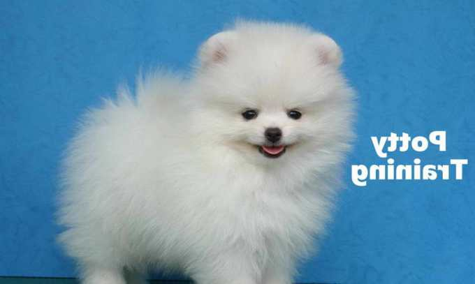 How To Train A Pomeranian Puppy