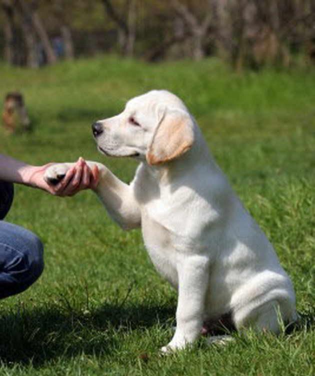 How To Train Labrador Retriever
