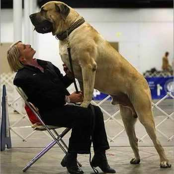 Huge English Mastiff