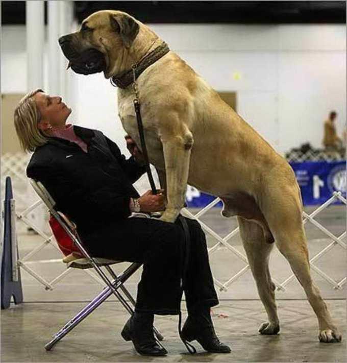 Huge English Mastiff