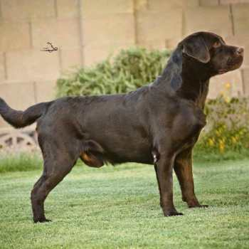 Hunting Labrador Retriever Puppies For Sale