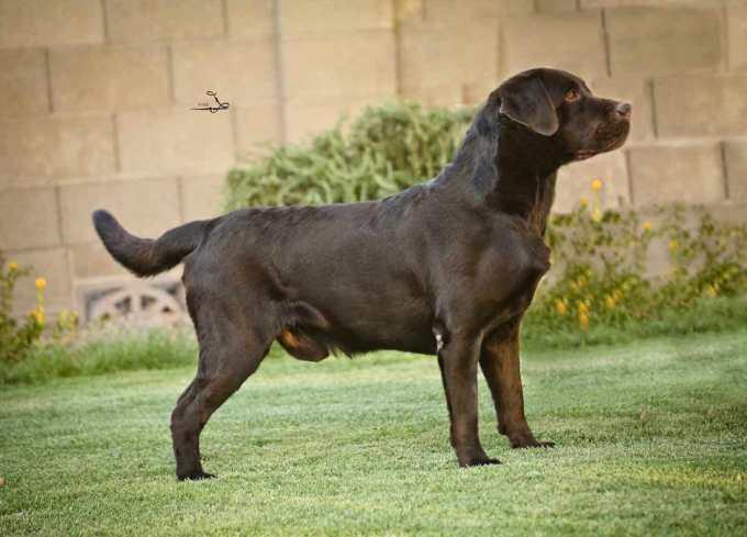Hunting Labrador Retriever Puppies For Sale