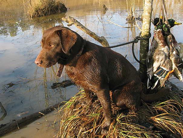 Hunting Labrador