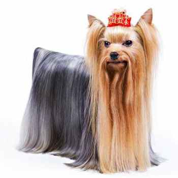 Images Of Yorkie Terrier