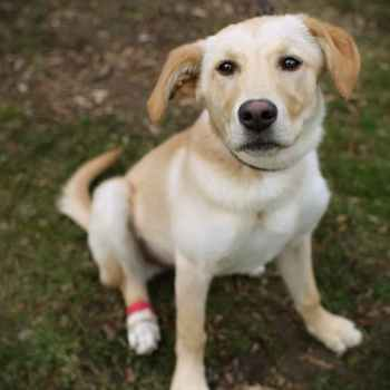 Independent Labrador Retriever Rescue Of Socal