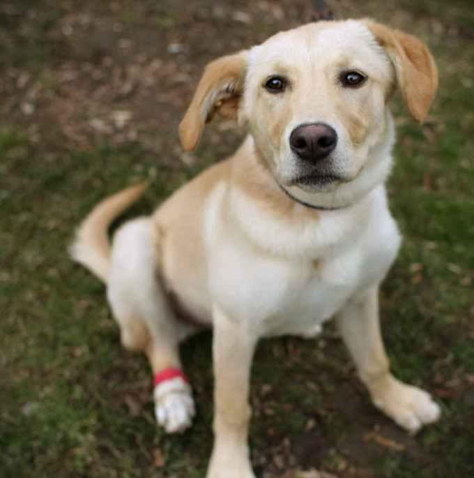Independent Labrador Retriever Rescue Of Socal