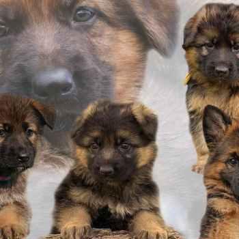 Indiana German Shepherd Puppies