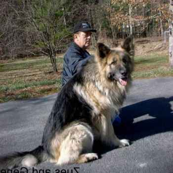 Indiana German Shepherd Rescue