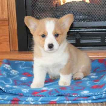 Iowa Corgi Breeders