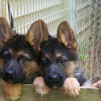 Iowa German Shepherd Puppies