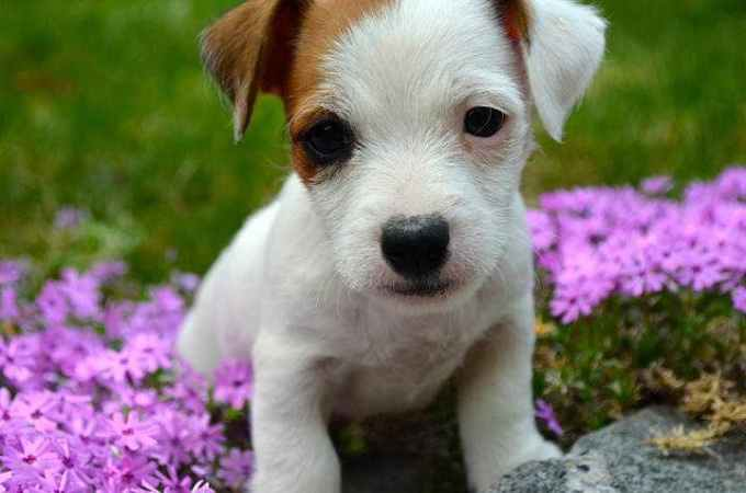 Irish Jack Russell Terrier