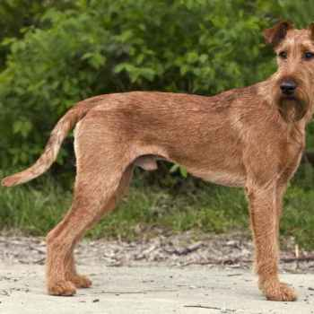 Irish Terrier Pups For Sale