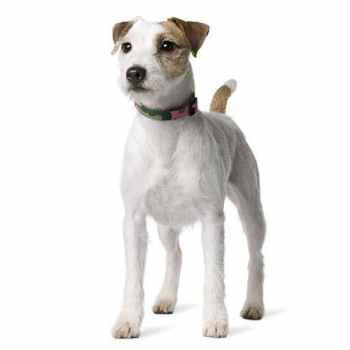 Jack Parson Russell Terrier