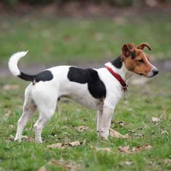 Jack Russel Terrier For Sale