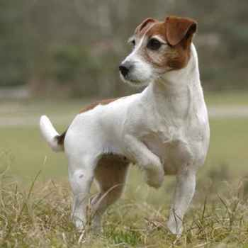 Jack Russel Terrier Rescue