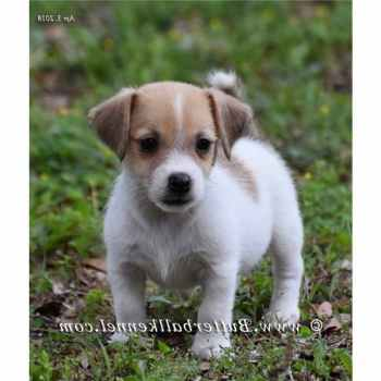 Jack Russell Breeders In Florida
