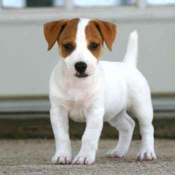 Jack Russell Breeders Ny
