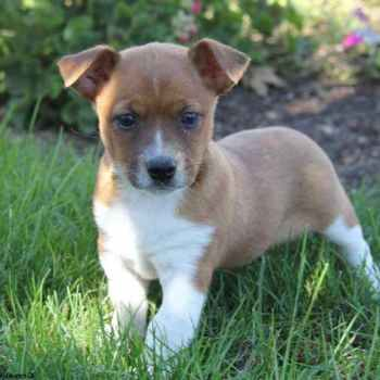 Jack Russell Chihuahua Mix For Sale